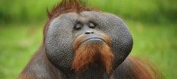 Návštěvnost orangutan